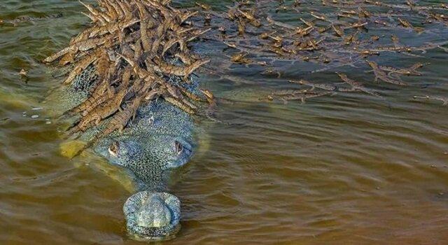 Zdjęcie taty krokodyla, który nosi na plecach 100 małych krokodyli, podbiło świat