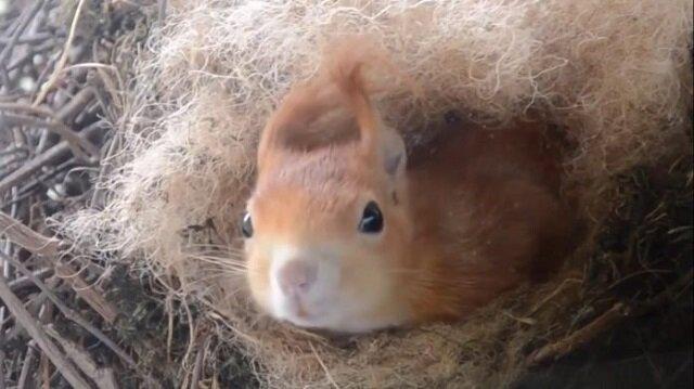 Za oknem szczęściarza wiewiórka zbudowała gniazdo i doprowadziła swoich małych. Teraz zamiast telewizora cały czas się znajduje przy oknie