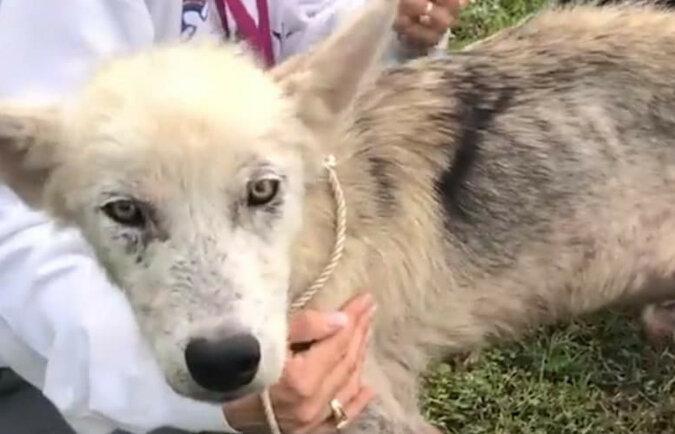Wolontariusze pomogli piesku porody husky, który był przykuty łańcuchem przez 2 lata. Spójrz, jakim stał się przystojniakiem