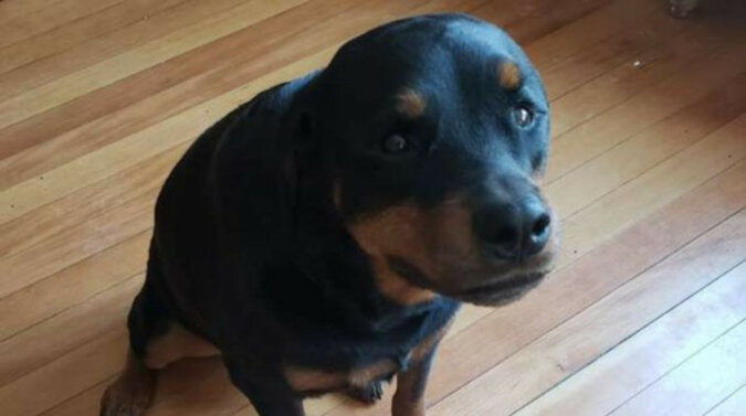 Podczas gdy właścicieli nie ma w domu, ich pies kradnie chleb, chowa go, ale nie zjada ani kawałka