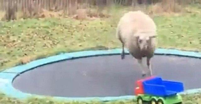 Owca zasmakowała w skakaniu na trampolinie