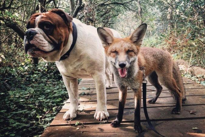 """""""Lis i pies"""": dziewczyna uratowała lisa, a on został najlepszym przyjacielem jej psa"""