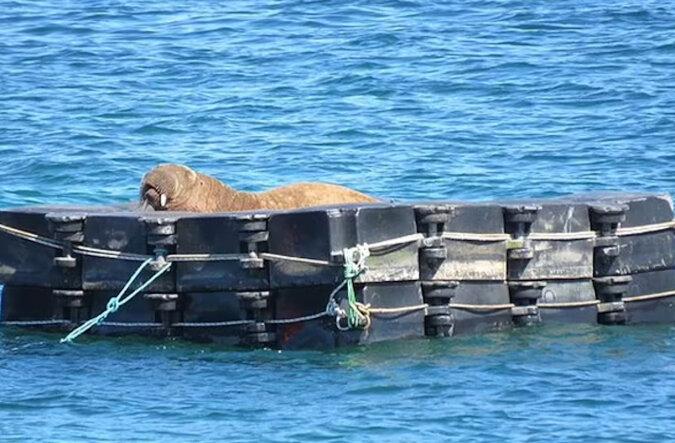 Dla morsa, który niszczył łódki, zostało zrobione miejsce do odpoczynku
