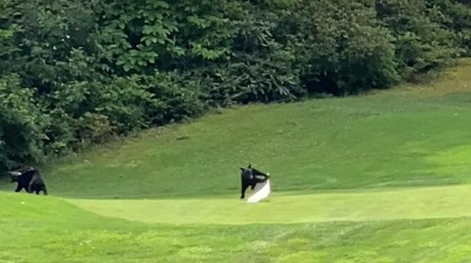 Trzy niedźwiadki zaczęły wygłupiać się i rozrabiać na polu golfowym. Wideo