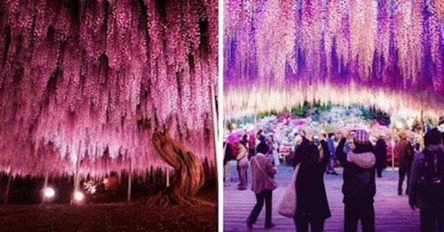 Różowe niebo lub 144-letnia glicynia w Japonii