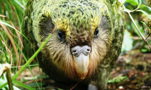 Gruba nielatająca papuga nazwana Ptakiem Roku w Nowej Zelandii