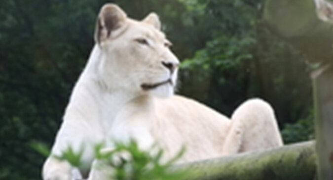 Życie wyczerpanej i smutnej lwicy zaczęło się poprawiać, gdy tylko zobaczyła nowego sąsiada