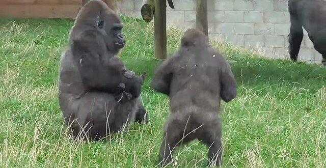 Brytyjskie zoo jest domem dla rzadkiej rodziny goryli. Młodszy brat jest bardzo szczęśliwy, że został dodany do rodziny
