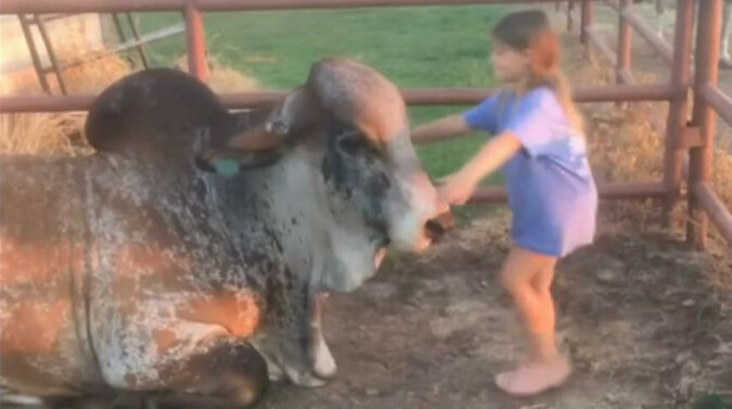 Dziewczyna i ogromny byk zostali najlepszymi przyjaciółmi - on nawet nie ma nic przeciwko zabraniu jej na przejażdżkę