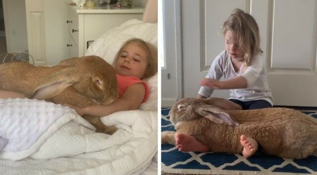 Gigantyczny królik uwielbia swoją małą właścicielkę