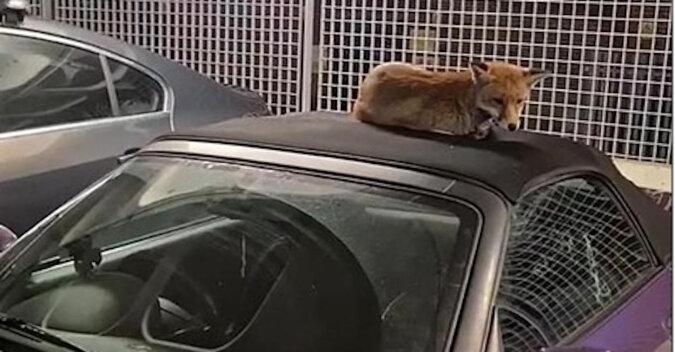 Muzyk znalazł śpiącego lisa na dachu swojego samochodu. Lis odmówił zejścia