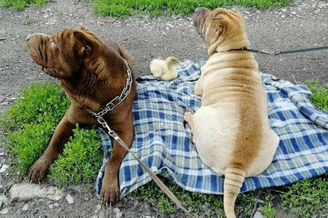 Dwa psy rasy Shar Pei przyjęły kaczątko do rodziny, które uważa siebie za psa