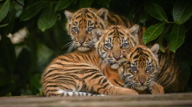 Nie ma cudzych dzieci: biały labrador adoptował trzy urocze młode tygrysy. Wideo