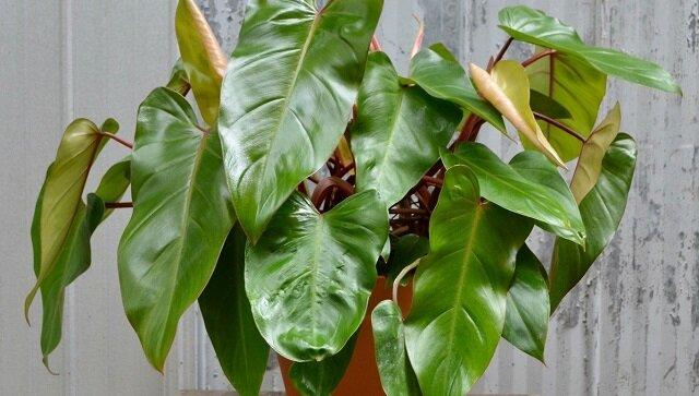 Ulubione rośliny doniczkowe, które powoli niszczą twoje zdrowie