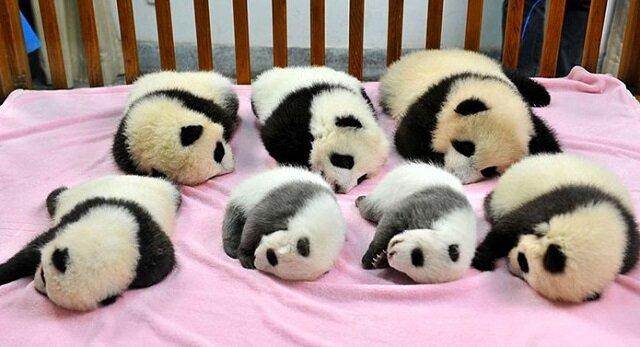 Przedszkole dla pand to najsłodsze miejsce na ziemi