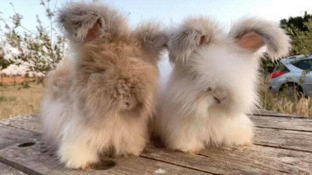 Urocze francuskie króliczki z najbardziej puszystymi uszami. Wideo