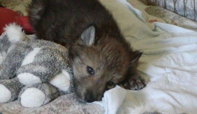 Kobieta uratowała trzy wilcze szczenięta. Wyrosły na majestatyczne okazy