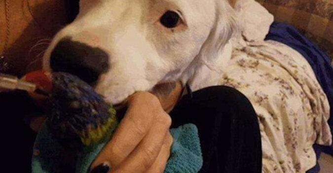 Pies był tak wiele razy zdradzany, że po umieszczeniu go w samochodzie nieustannie płacze