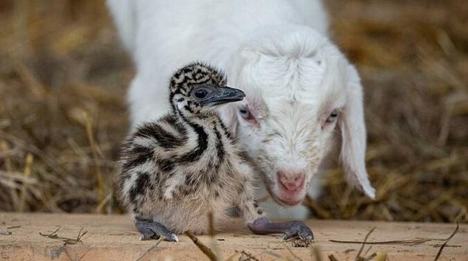 """""""Ale wzruszające!"""" - Rodzice porzucili pisklę emu, ale maleństwo znalazło dom i nowych przyjaciół"""
