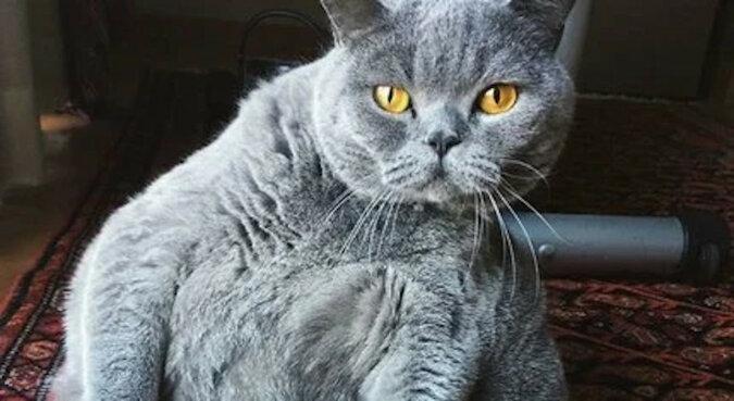 Właściciel poprosił o uśpienie kota, który wyglądał jak piłka. Ale lekarz znalazł inne rozwiązanie