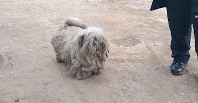Z bezdomnego psa zestrzyżono 3,5 kg sierści