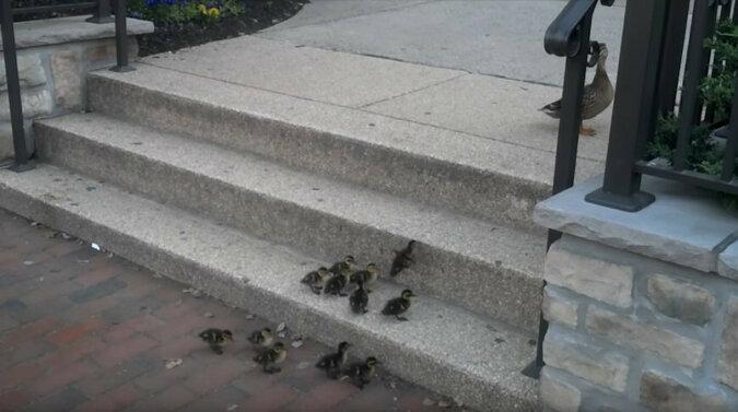Pisklęta wspinają się po schodach. Wideo
