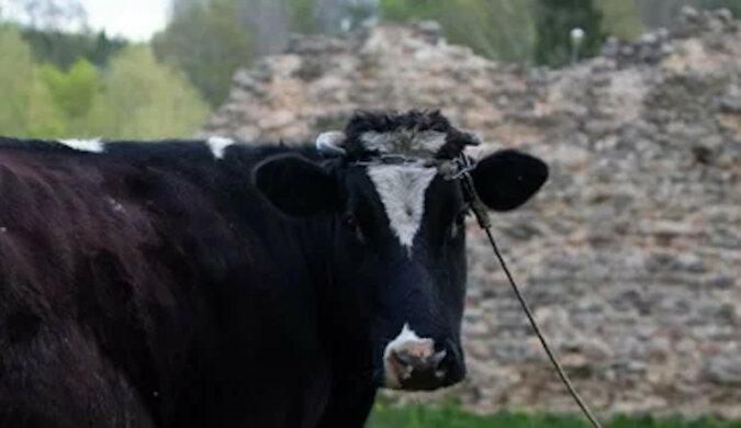 """""""Czy potrzebujesz mleka do kawy?"""": Krowa jednym działaniem rozśmieszyła użytkowników Internetu. Wideo"""