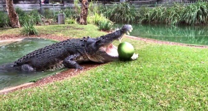 Jak potężne są szczęki krokodyla: wideo