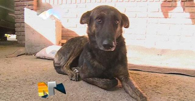 Wierny pies przebył 160 kilometrów, aby znaleźć ludzi, którzy go kiedyś uratowali