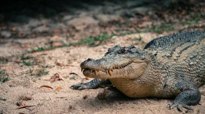 Zazdrosny krokodyl pomścił ukochanej za zdradę. Wideo