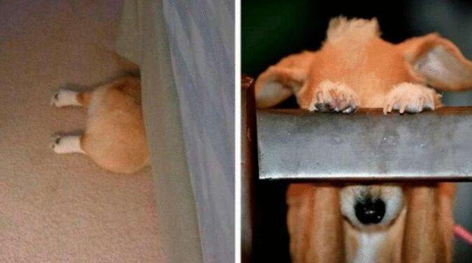 19 psów, które uważają, że dobrze się ukryły