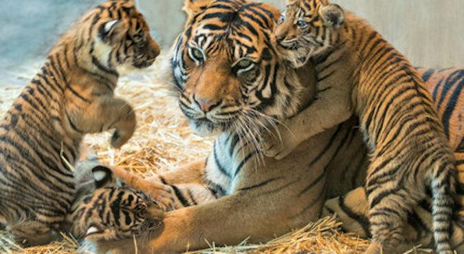 Rzadki przypadek: tata tygrys zaczął wychowywać cztery młode po śmierci matki
