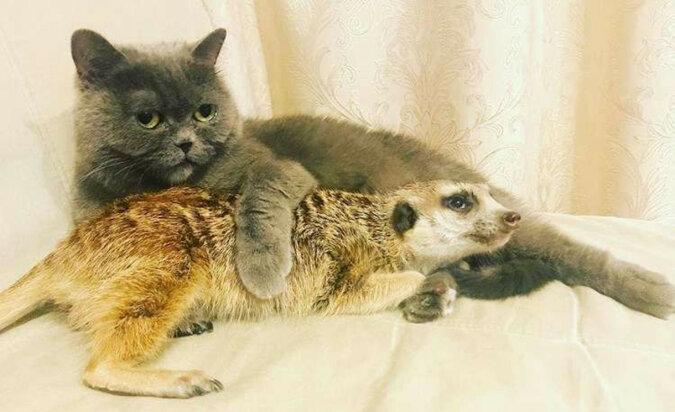 Uratowana z małego Zoo surykatka nie tylko zaprzyjaźniła się z kotem, ale także uważa go za przywódcę