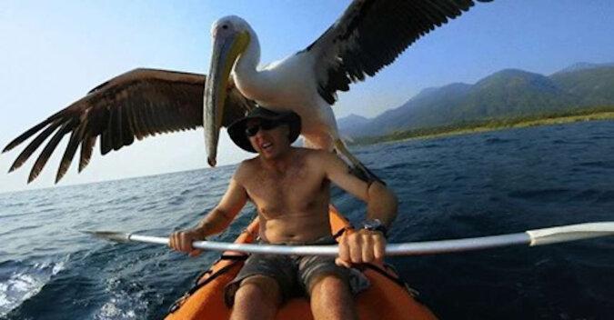"""Mężczyzna uratował pelikana przed śmiercią. A teraz """"zwierzak"""" nawet na krok nie odstępuje od niego"""