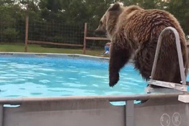 Filmik: Niedźwiedź wskakuje do basenu i z radością bawi się w wodzie