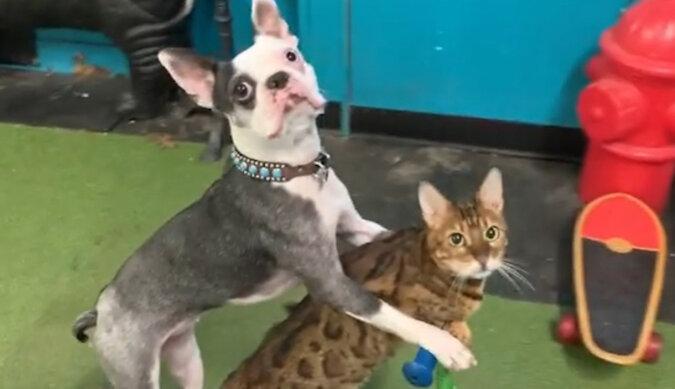 Unikalna sztuczka: kot i pies przejechały na skuterze i trafiły do Księgi Rekordów Guinnessa. Wideo