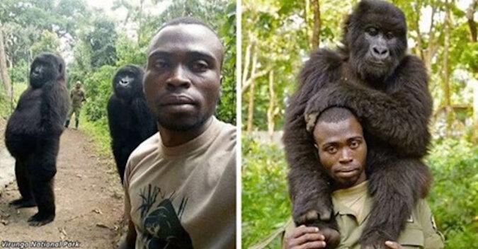Goryle zrobili selfie ze strażnikiem chroniącym je przed kłusownictwem
