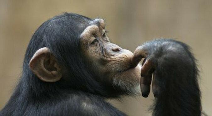 """""""Naprawdę chce zostać człowiekiem"""": małpa pomagała personelowi Zoo w sprzątaniu"""