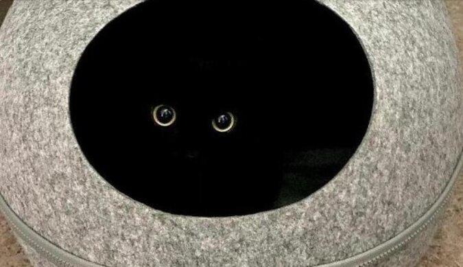 Czarny zwisłouchy kot Myaungji: niegrzeczne śliczne cudo