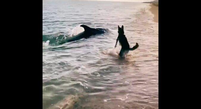 Na Krymie delfiny wypłynęły na brzeg, aby bawić się z psem. Niesamowity filmik