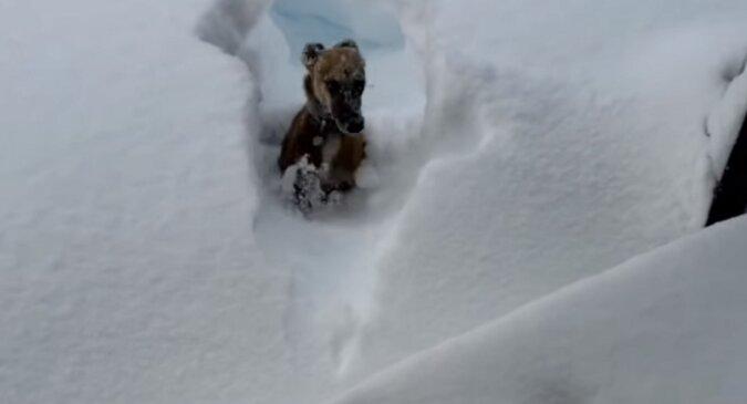 Radosny piesek wybiegł bawić się, od razu wpadł do bardzo głębokiego śniegu i pożałował tego - zabawny filmik