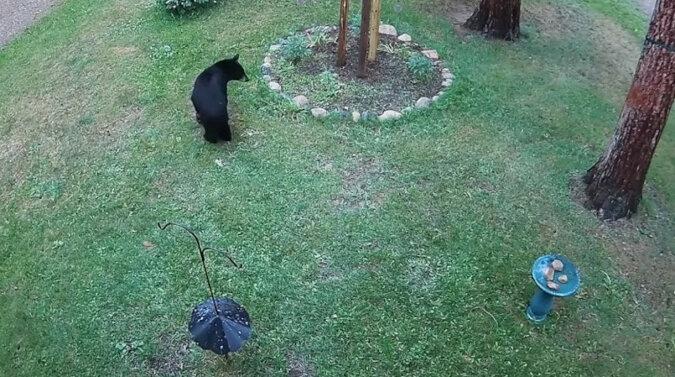 Wielkość nie ma znaczenia: mały piesek zagonił dzikiego niedźwiedzia na drzewo. Wideo
