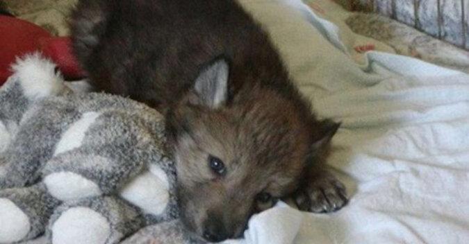 Kobieta uratowała trzy wilcze szczenięta. Teraz zmieniły się w dorosłe, dumne zwierzęta
