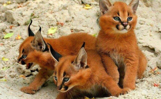Kim są te cudowne kocięta, w których można się łatwo zakochać?