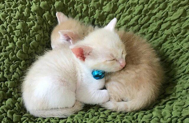 Kobieta uratowała kocięta ze schroniska, ale jeden z nich ciągle płakał bez matki. Gospodyni znalazła ciekawe wyjście z sytuacji