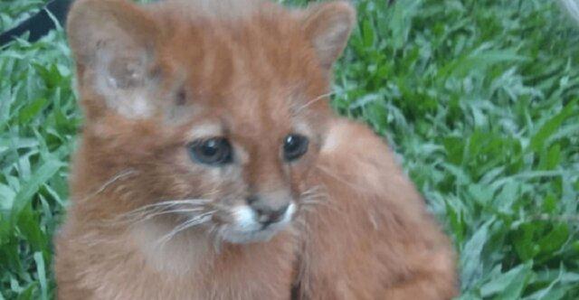 Dziewczyna znalazła kotka i mało brakowało by nie zaadoptowała dzikie zwierzę